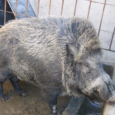 純種野豬苗價格、能購買到純種野豬苗 農村創業好時代